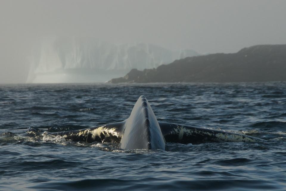 Newfoundland Whale and Iceberg