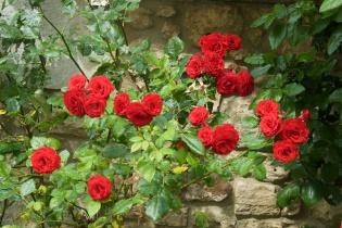 Roses - France