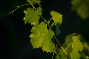 Grapevine - France