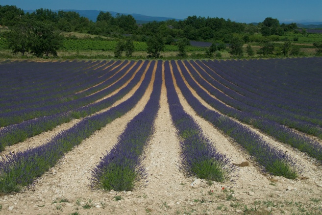 Lavender Field - France