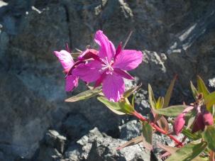 Flower - Glacier Bay