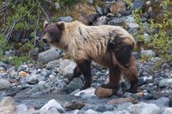 Grizzly Bear - Glacier Bay