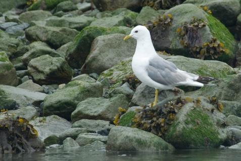 Seagull - Glacier Bay