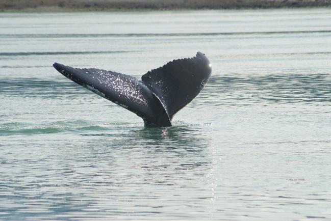 Whale Tail - Glacier Bay