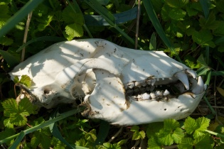 Bear Skull - Glacier Bay