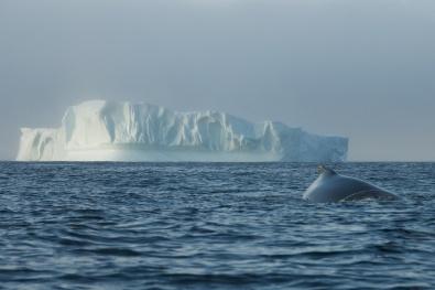 Whale and Iceberg 3 - Newfoundland