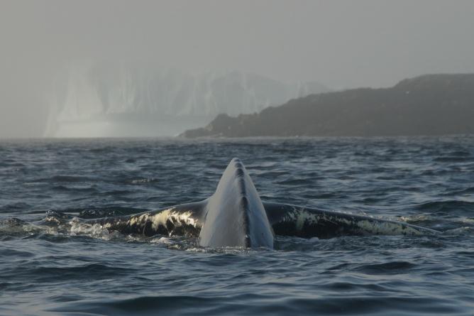 Whale and Iceberg 1 - Newfoundland