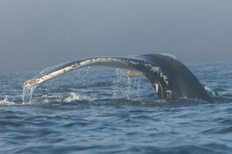 Whale's Tail - Newfoundland
